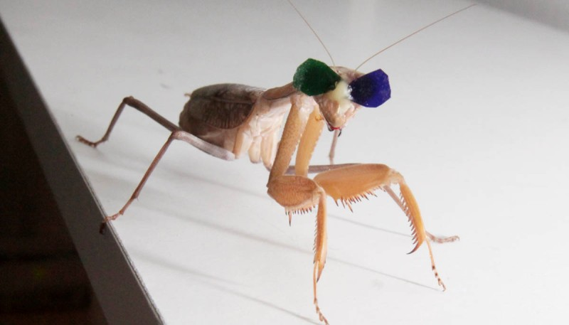 mantis on table standard image